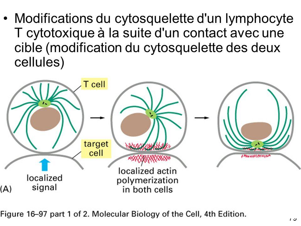 79 Fig 16-97(A) Modifications du cytosquelette d'un lymphocyte T cytotoxique à la suite d'un contact avec une cible (modification du cytosquelette des
