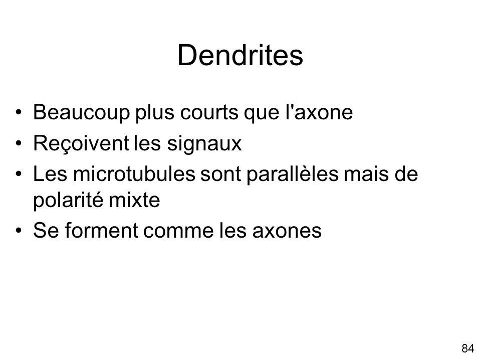 84 Dendrites Beaucoup plus courts que l'axone Reçoivent les signaux Les microtubules sont parallèles mais de polarité mixte Se forment comme les axone
