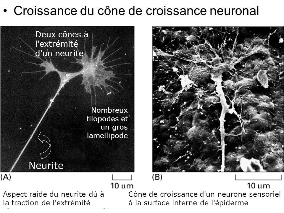91 Fig 16-99 Croissance du cône de croissance neuronal Deux cônes à l'extrémité d'un neurite Neurite Nombreux filopodes et un gros lamellipode Aspect