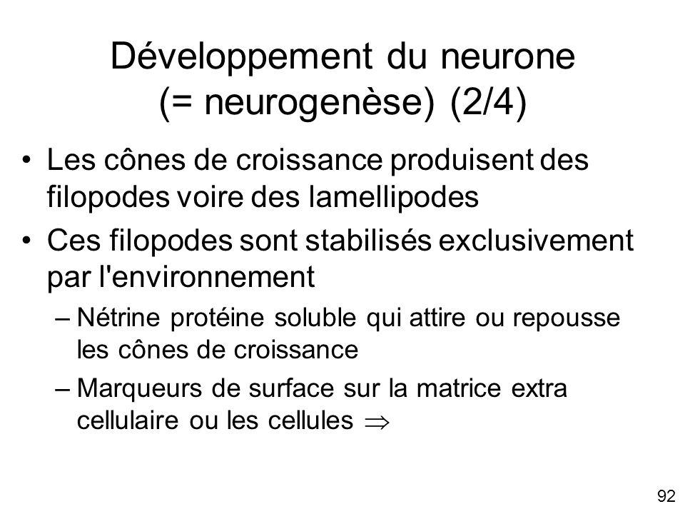 92 Développement du neurone (= neurogenèse) (2/4) Les cônes de croissance produisent des filopodes voire des lamellipodes Ces filopodes sont stabilisé