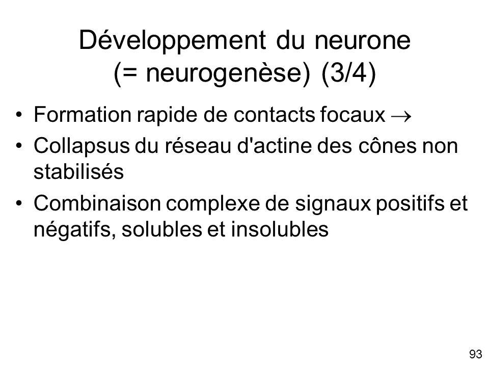 93 Développement du neurone (= neurogenèse) (3/4) Formation rapide de contacts focaux Collapsus du réseau d'actine des cônes non stabilisés Combinaiso