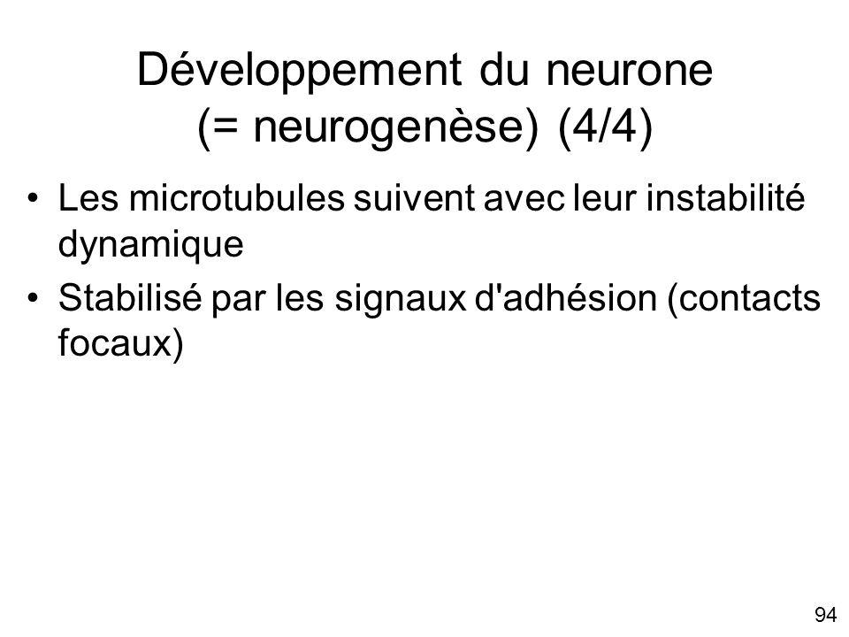 94 Développement du neurone (= neurogenèse) (4/4) Les microtubules suivent avec leur instabilité dynamique Stabilisé par les signaux d'adhésion (conta