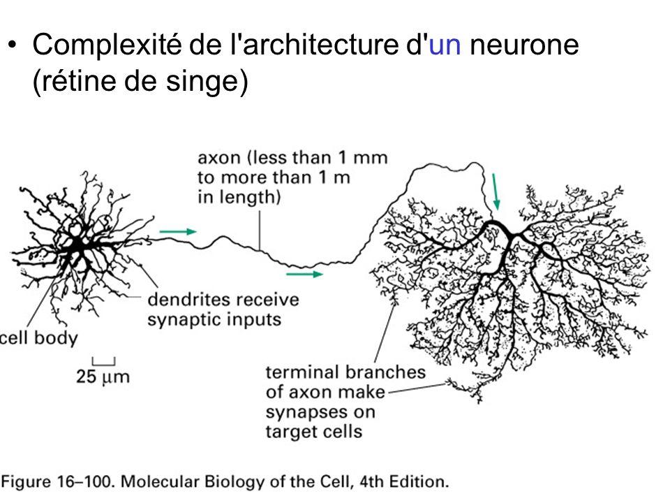 96 Fig 16-100 Complexité de l'architecture d'un neurone (rétine de singe)