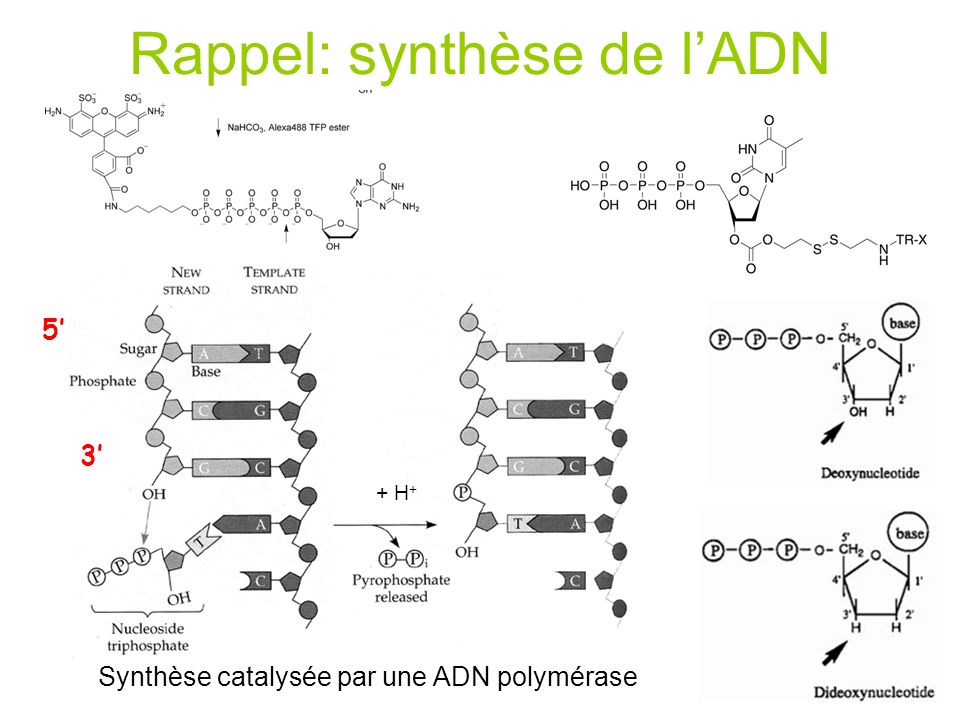 Rappel: Méthode de Sanger -Préparation dune grande quantité dADN (~1mg) -Dénaturation et ajoût de lamorce, des 4 dNTP (dont 1 radioactif, S 35 ou P 32 ) et de lADN polymérase -Faire 4 aliquots et mettre un peu de ddNTP dans chaque tube -Elongation et terminaison par incorporation de didéoxynucléotides spécifiques 1 ddNTP est statistiquement incorporé à toutes les positions possibles Amorce Brin dADN matrice Brin dADN nouvellement synthétisé