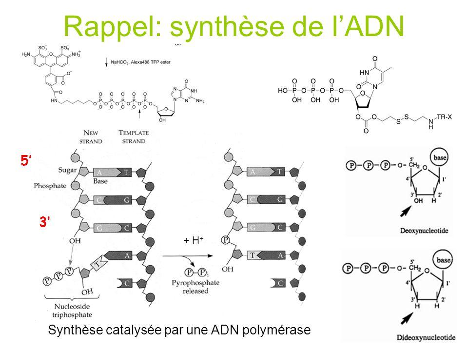 Rappel: synthèse de lADN 5 3 Synthèse catalysée par une ADN polymérase + H +
