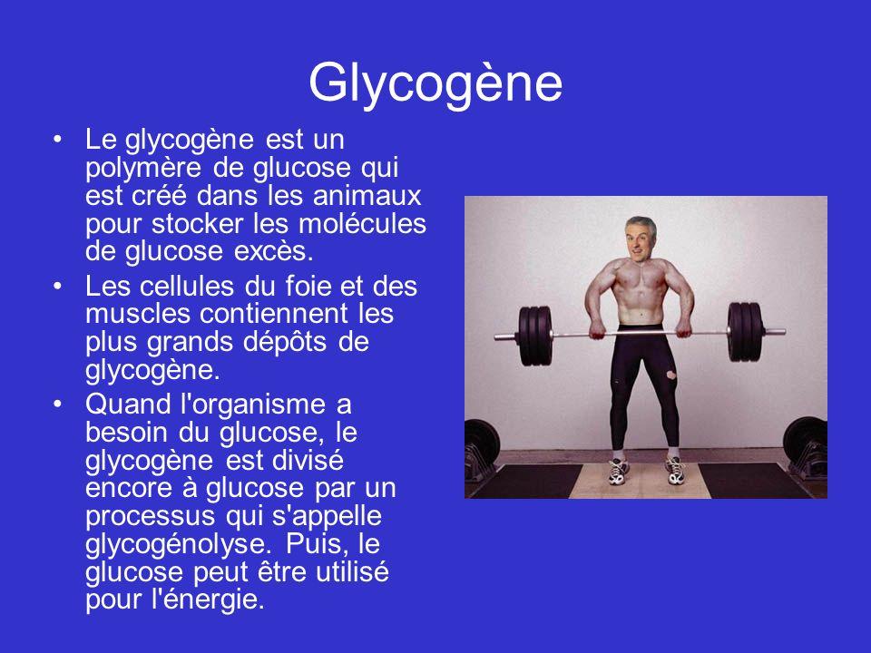 Glycogène Le glycogène est un polymère de glucose qui est créé dans les animaux pour stocker les molécules de glucose excès. Les cellules du foie et d