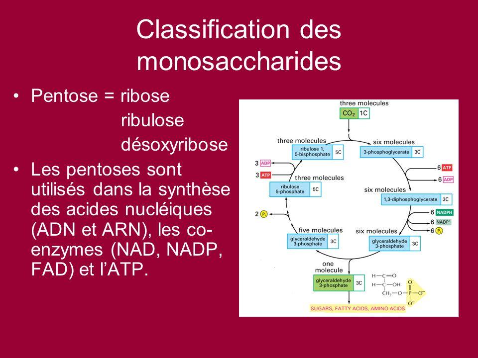 Classification des monosaccharides Pentose = ribose ribulose désoxyribose Les pentoses sont utilisés dans la synthèse des acides nucléiques (ADN et AR