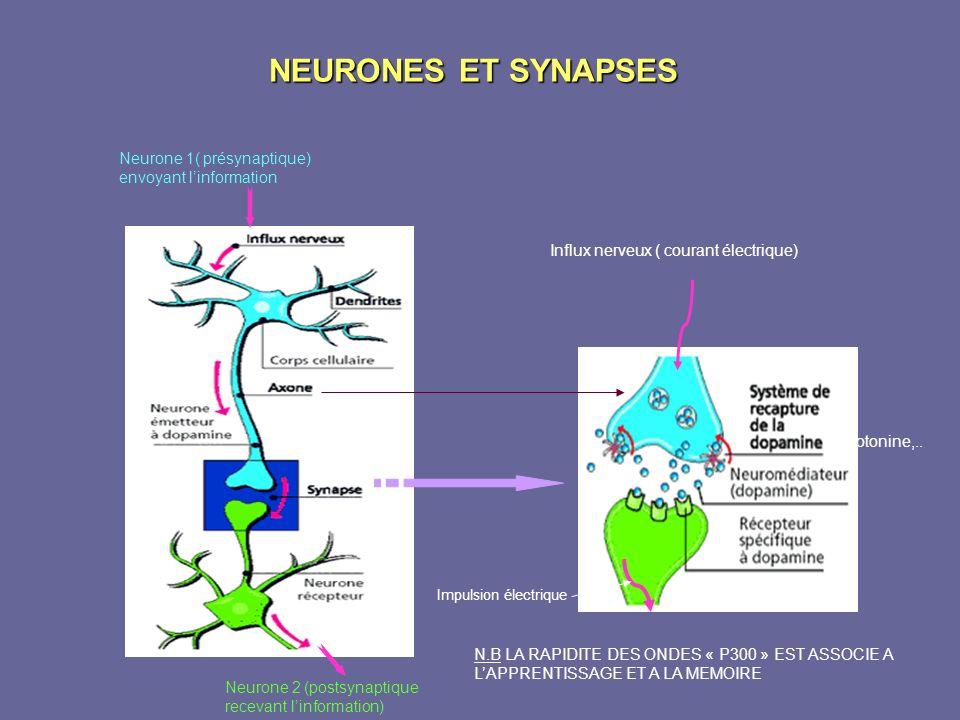 NEURONES ET SYNAPSES Neurone 1( présynaptique) envoyant linformation Neurone 2 (postsynaptique recevant linformation) Impulsion électrique Influx nerv