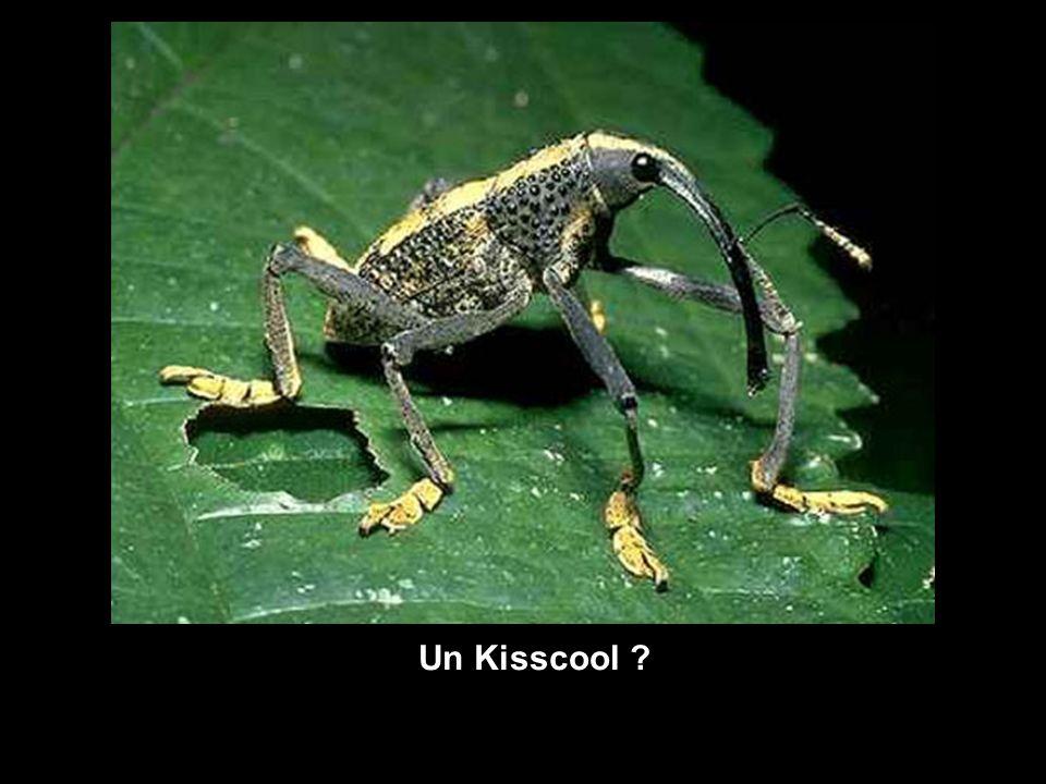 Un Kisscool ?