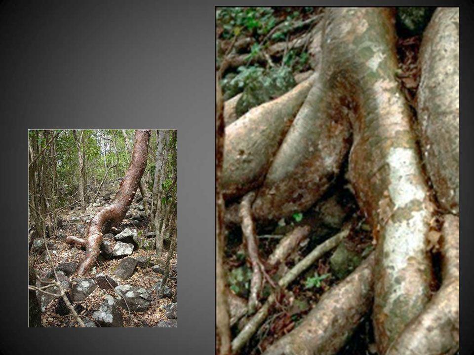 Ces racines de gommier, corps enchevêtrés… en haut du morne de Crévecoeur, en Martinique.