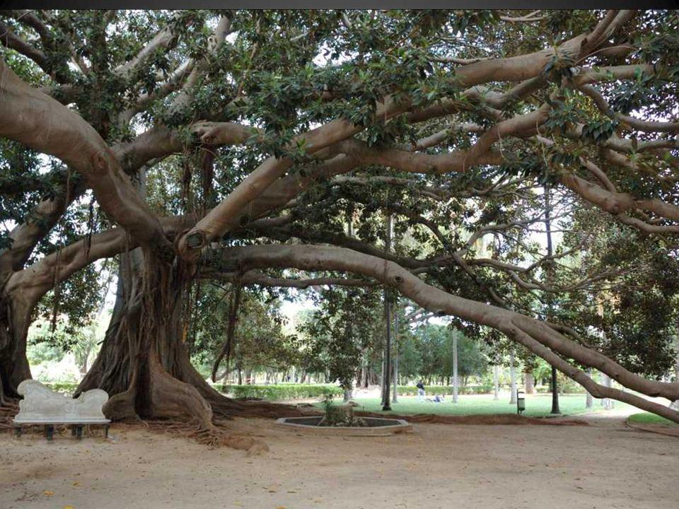 On y rencontre des arbres géants, ficus (banians) ou fromagers, élevant leurs bras vers le ciel ou déroulant leurs racines serpentines à terre, comme autant de mains vivantes, sculptures muettes dressées vers le ciel (Le plus gros figuier, le grand banian, se trouve au jardin botanique de Howrah, près de Calcutta: a circonférence est de 412 m, soit 131 m de diamètre!)