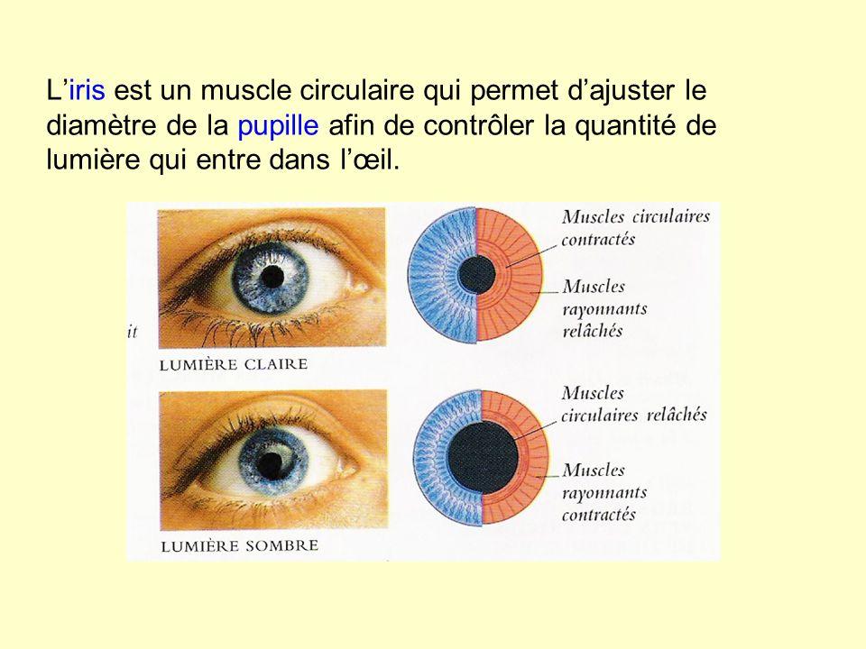 Liris est un muscle circulaire qui permet dajuster le diamètre de la pupille afin de contrôler la quantité de lumière qui entre dans lœil.