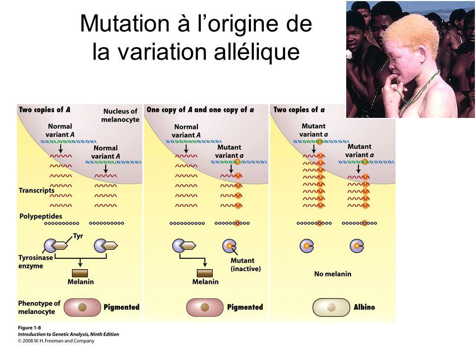 Mutation à lorigine de la variation allélique
