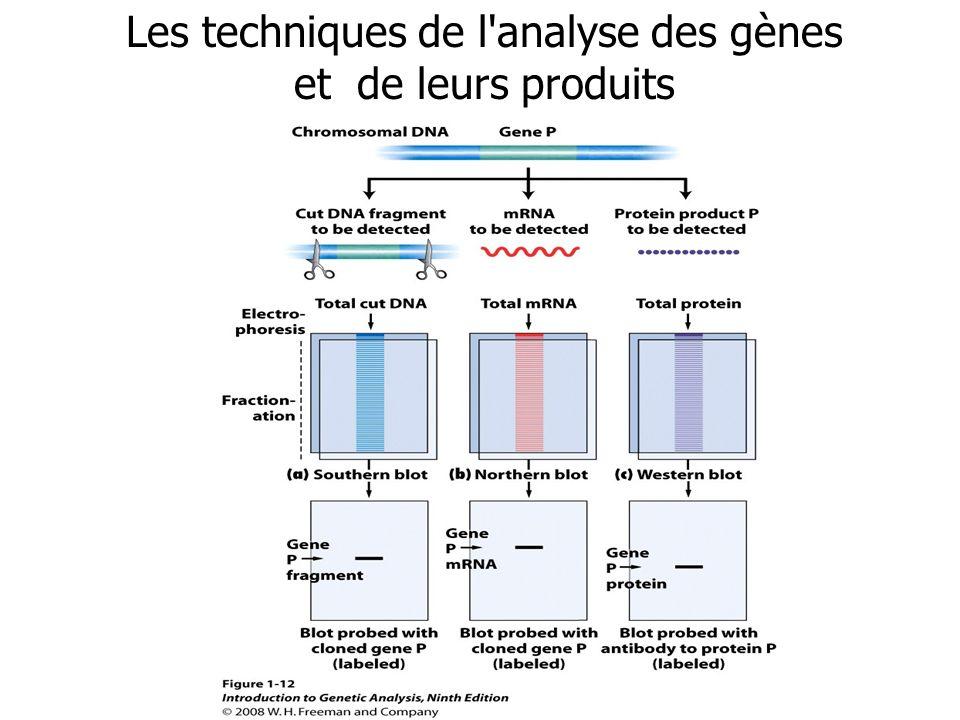 Les techniques de l'analyse des gènes et de leurs produits