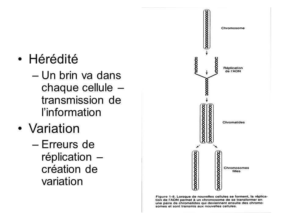 Hérédité –Un brin va dans chaque cellule – transmission de linformation Variation –Erreurs de réplication – création de variation