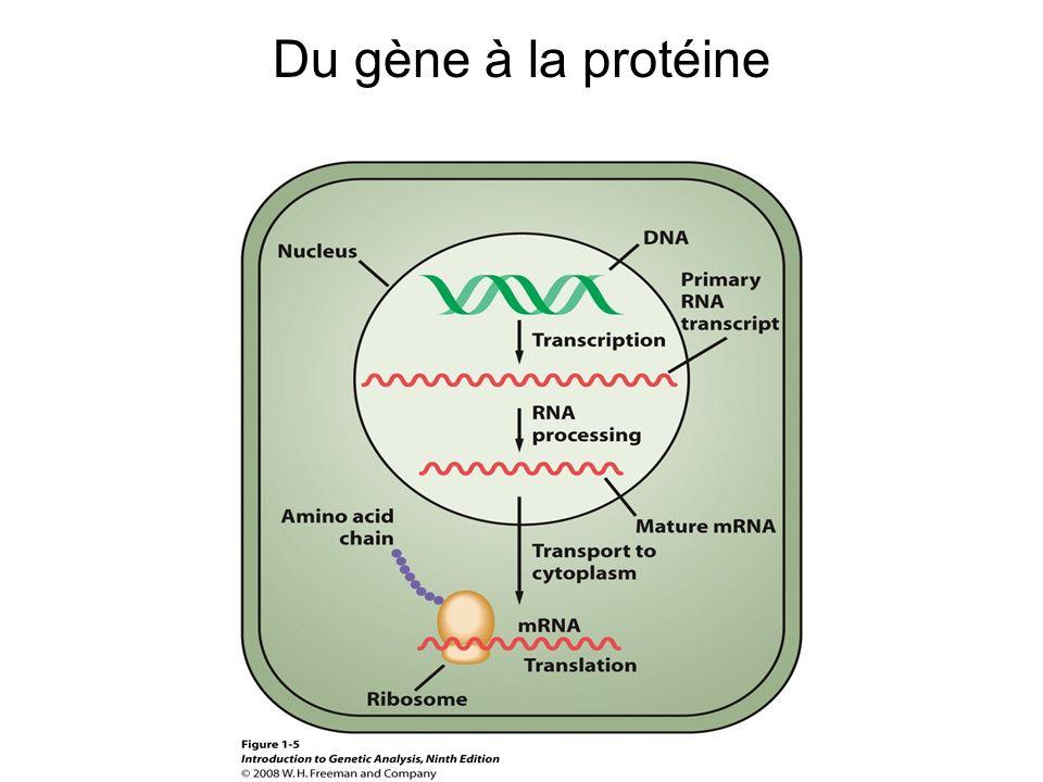 Génotype : l ensemble des gènes hérités par un individu Phénotype : l ensemble des caractères d un individu –molécule –morphologie –physiologie –comportement
