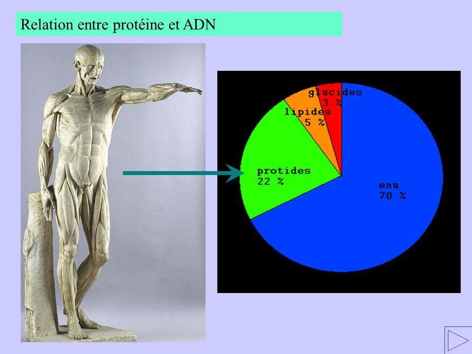 Relation entre protéine et ADN Quest-ce quun gène ? Livre p. 53