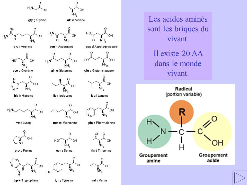 Les acides aminés forment des chaînes polypeptidiques Monopeptide = un seul peptide = 1 seul acide aminé Oligopeptide = 2 à 10 peptides (dipeptide, tripeptide…) Polypeptide = plus de 10 peptides Une liaison peptide est une liaison entre le pôle amine dun 1er acide aminé et le pôle acide dun second acide aminé.