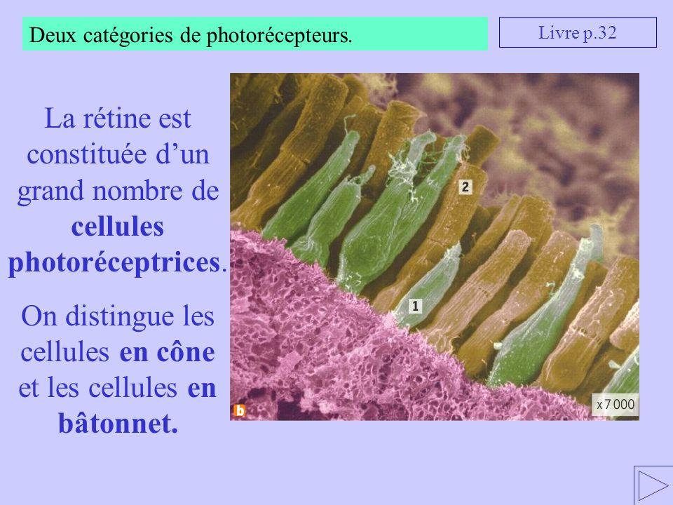 Deux catégories de photorécepteurs. La rétine est constituée dun grand nombre de cellules photoréceptrices. On distingue les cellules en cône et les c
