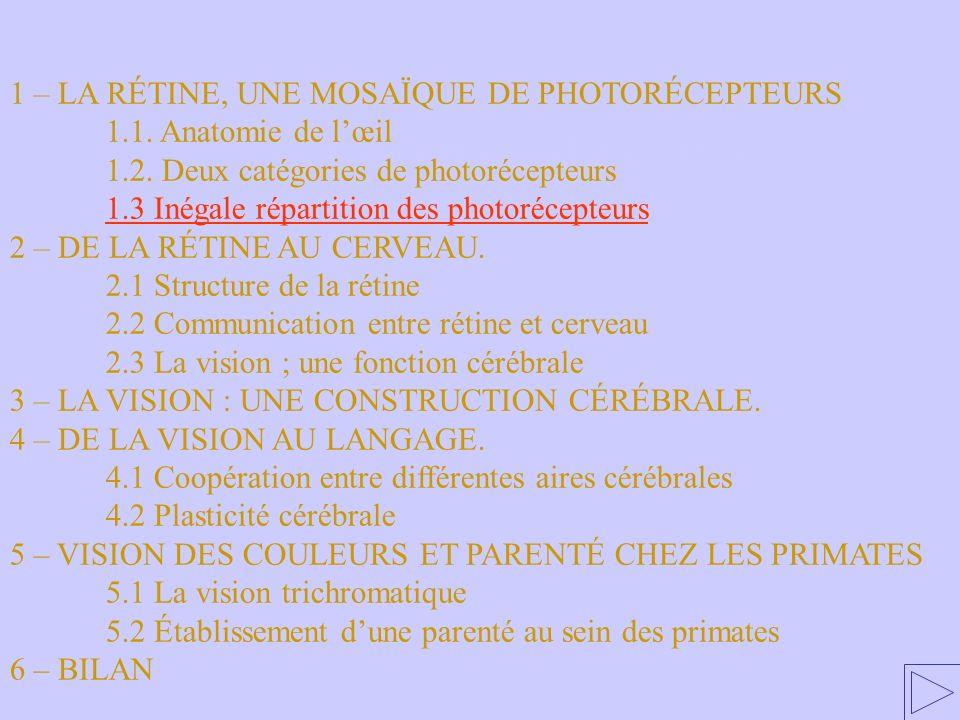 1.3. Inégale répartition des photorécepteurs 1 – LA RÉTINE, UNE MOSAÏQUE DE PHOTORÉCEPTEURS 1.1. Anatomie de lœil 1.2. Deux catégories de photorécepte