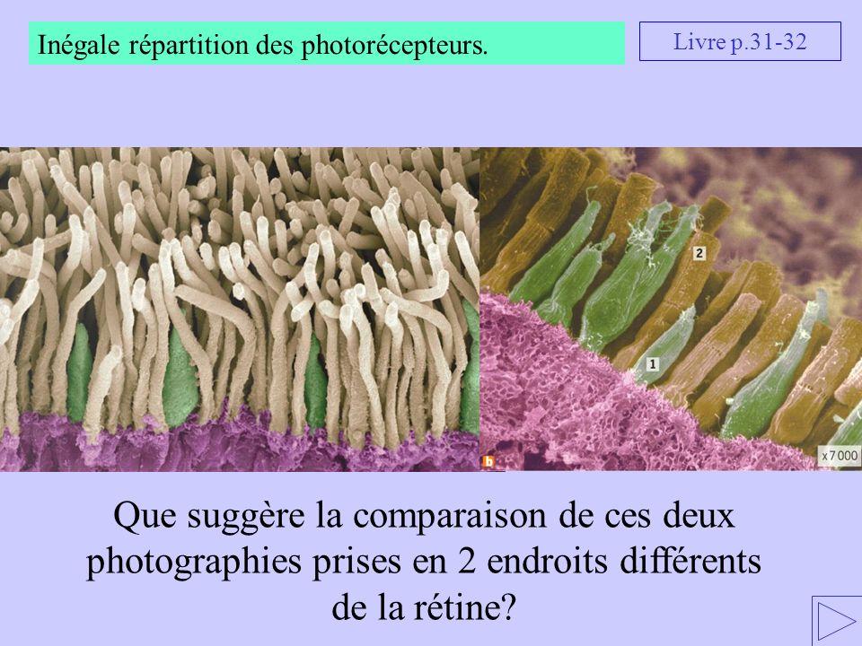 Que suggère la comparaison de ces deux photographies prises en 2 endroits différents de la rétine? Livre p.31-32 Inégale répartition des photorécepteu