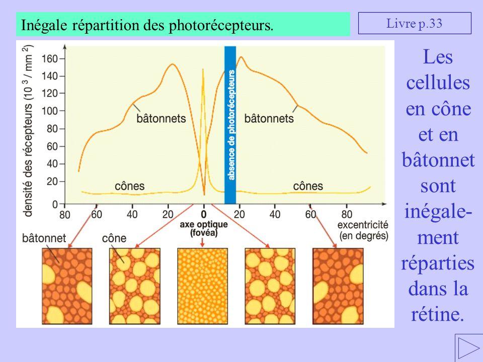 Les cellules en cône et en bâtonnet sont inégale- ment réparties dans la rétine. Livre p.33