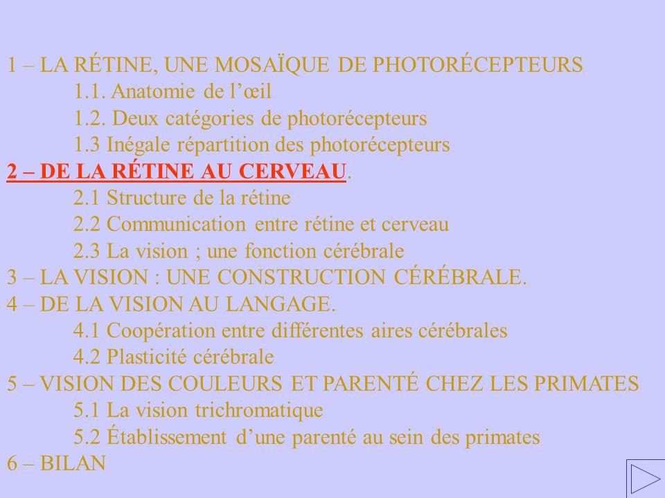 2 – DE LA RÉTINE AU CERVEAU 1 – LA RÉTINE, UNE MOSAÏQUE DE PHOTORÉCEPTEURS 1.1. Anatomie de lœil 1.2. Deux catégories de photorécepteurs 1.3 Inégale r