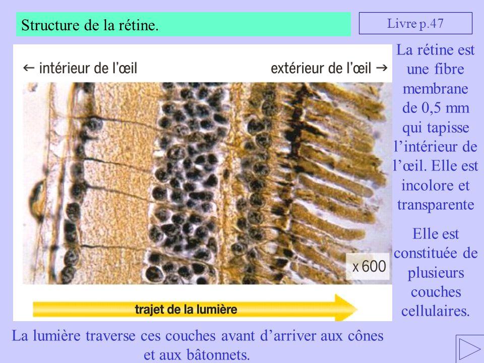 Structure de la rétine. La rétine est une fibre membrane de 0,5 mm qui tapisse lintérieur de lœil. Elle est incolore et transparente Elle est constitu