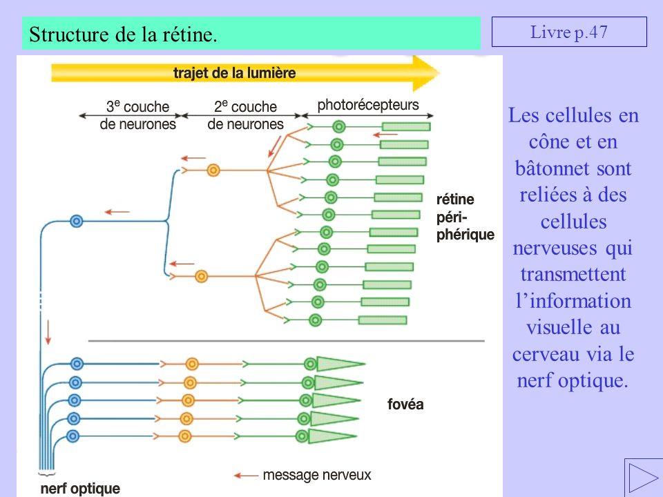 Structure de la rétine. Les cellules en cône et en bâtonnet sont reliées à des cellules nerveuses qui transmettent linformation visuelle au cerveau vi
