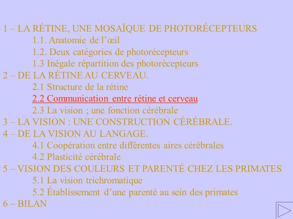 2.2 Communication entre rétine et cerveau 1 – LA RÉTINE, UNE MOSAÏQUE DE PHOTORÉCEPTEURS 1.1. Anatomie de lœil 1.2. Deux catégories de photorécepteurs