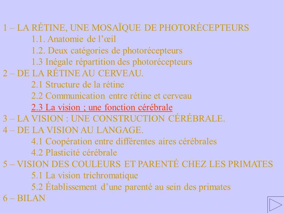2.3 La vision ; une fonction cérébrale 1 – LA RÉTINE, UNE MOSAÏQUE DE PHOTORÉCEPTEURS 1.1. Anatomie de lœil 1.2. Deux catégories de photorécepteurs 1.