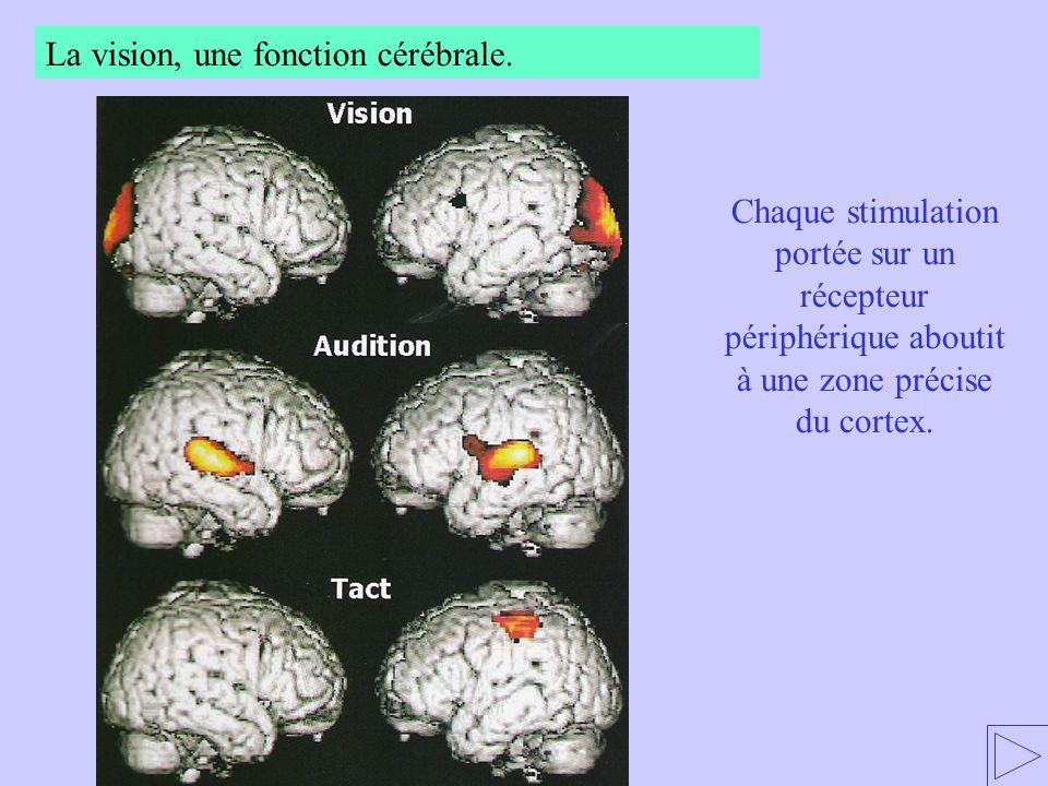 Chaque stimulation portée sur un récepteur périphérique aboutit à une zone précise du cortex. La vision, une fonction cérébrale.