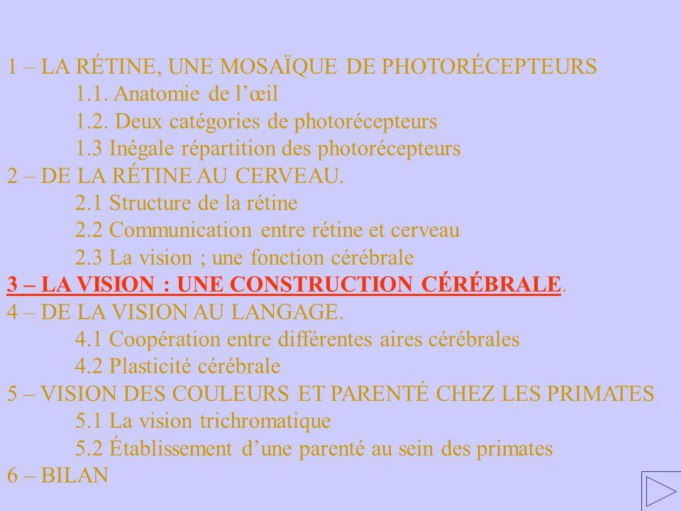 3 – LA VISION : UNE CONSTRUCTION CÉRÉBRALE 1 – LA RÉTINE, UNE MOSAÏQUE DE PHOTORÉCEPTEURS 1.1. Anatomie de lœil 1.2. Deux catégories de photorécepteur