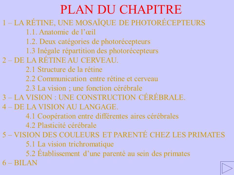1 – LA RÉTINE, UNE MOSAÏQUE DE PHOTORÉCEPTEURS 1.1.
