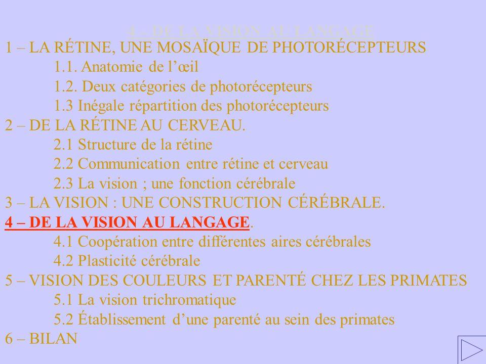 4 – DE LA VISION AU LANGAGE 1 – LA RÉTINE, UNE MOSAÏQUE DE PHOTORÉCEPTEURS 1.1. Anatomie de lœil 1.2. Deux catégories de photorécepteurs 1.3 Inégale r