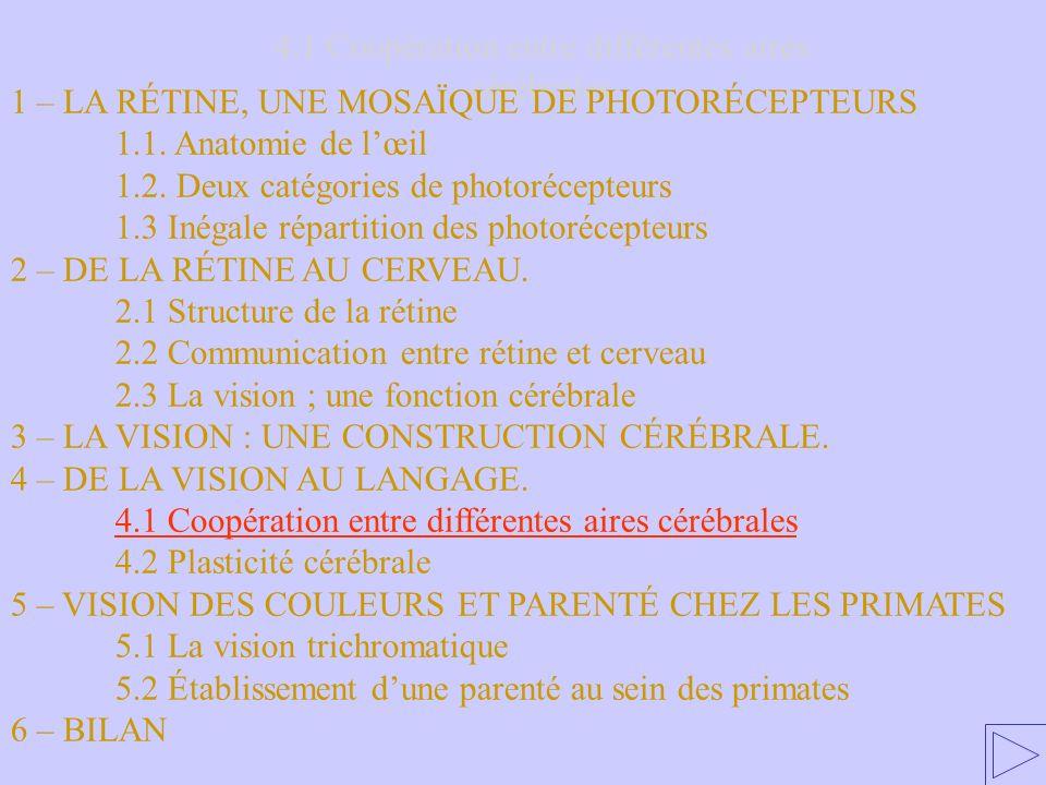 4.1 Coopération entre différentes aires cérébrales 1 – LA RÉTINE, UNE MOSAÏQUE DE PHOTORÉCEPTEURS 1.1. Anatomie de lœil 1.2. Deux catégories de photor