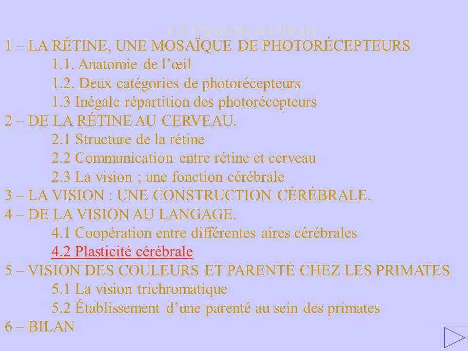 4.2 Plasticité cérébrale 1 – LA RÉTINE, UNE MOSAÏQUE DE PHOTORÉCEPTEURS 1.1. Anatomie de lœil 1.2. Deux catégories de photorécepteurs 1.3 Inégale répa