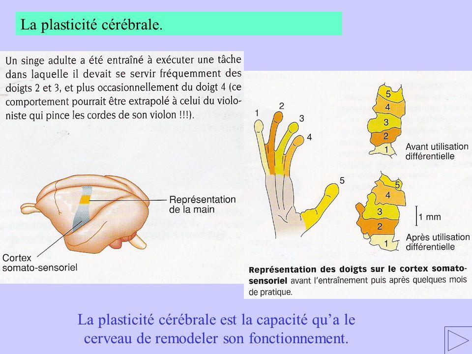La plasticité cérébrale. La plasticité cérébrale est la capacité qua le cerveau de remodeler son fonctionnement.