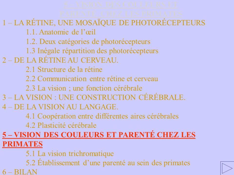5 – VISION DES COULEURS ET PARENTÉ CHEZ LES PRIMATES 1 – LA RÉTINE, UNE MOSAÏQUE DE PHOTORÉCEPTEURS 1.1. Anatomie de lœil 1.2. Deux catégories de phot
