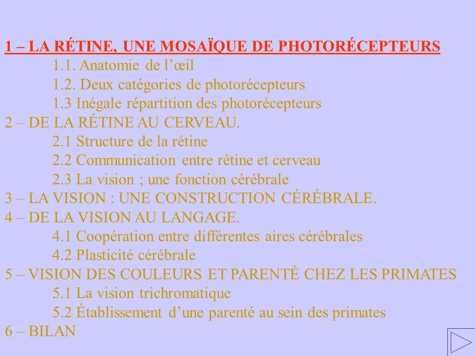 1 – LA RÉTINE, UNE MOSAÏQUE DE PHOTORÉCEPTEURS 1.1. Anatomie de lœil 1.2. Deux catégories de photorécepteurs 1.3 Inégale répartition des photorécepteu