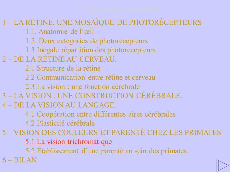 5.1 La vision trichromatique 1 – LA RÉTINE, UNE MOSAÏQUE DE PHOTORÉCEPTEURS 1.1. Anatomie de lœil 1.2. Deux catégories de photorécepteurs 1.3 Inégale
