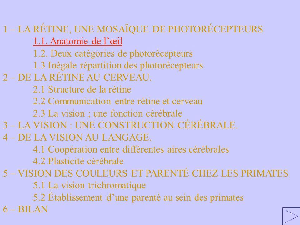 1.1.Anatomie de lœil 1 – LA RÉTINE, UNE MOSAÏQUE DE PHOTORÉCEPTEURS 1.1. Anatomie de lœil 1.2. Deux catégories de photorécepteurs 1.3 Inégale répartit