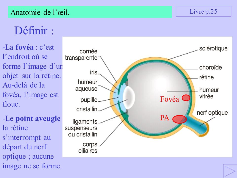 Anatomie de lœil. Définir : -La fovéa : cest lendroit où se forme limage dun objet sur la rétine. Au-delà de la fovéa, limage est floue. -Le point ave