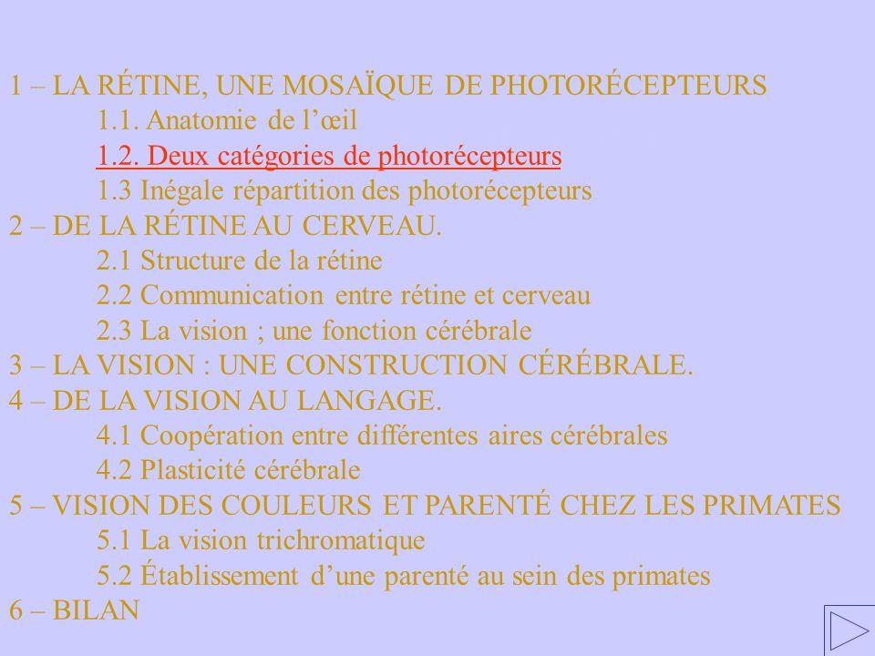 1.2. Deux catégories de photorécepteurs 1 – LA RÉTINE, UNE MOSAÏQUE DE PHOTORÉCEPTEURS 1.1. Anatomie de lœil 1.2. Deux catégories de photorécepteurs 1