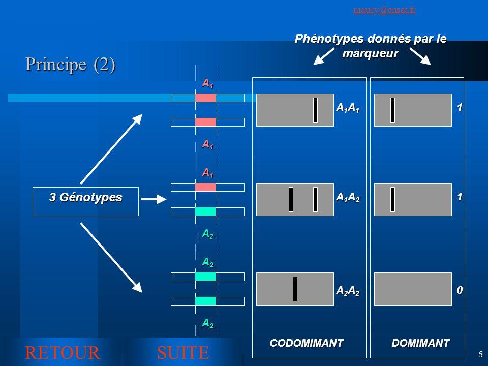 SuivantPrécédent maury@ensat.fr 5 Principe (2) CODOMIMANTDOMIMANT 3 Génotypes A1A1A1A1 A1A1A1A1 A1A1A1A1 A2A2A2A2 A2A2A2A2 A2A2A2A2 Phénotypes donnés