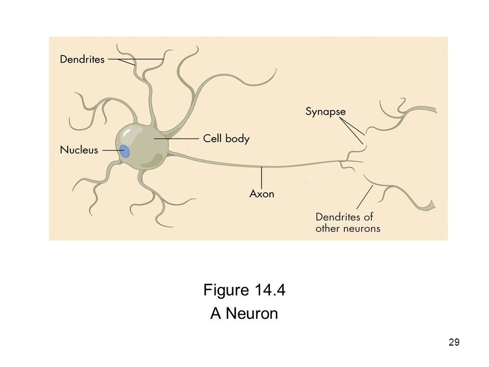 29 Figure 14.4 A Neuron