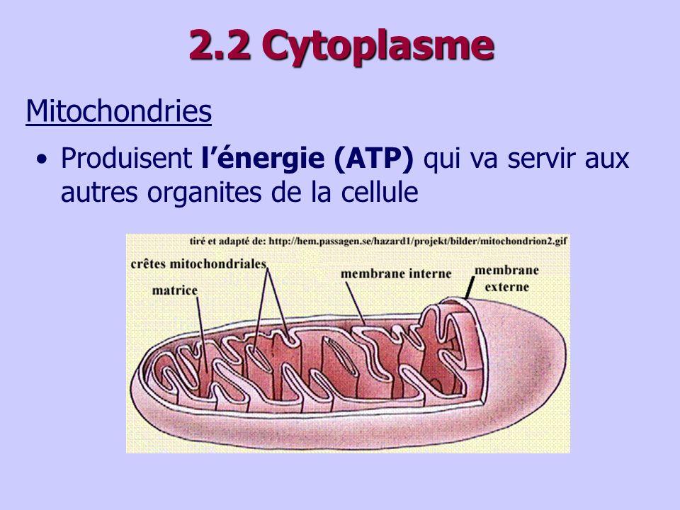 2.2 Cytoplasme Mitochondries Produisent lénergie (ATP) qui va servir aux autres organites de la cellule