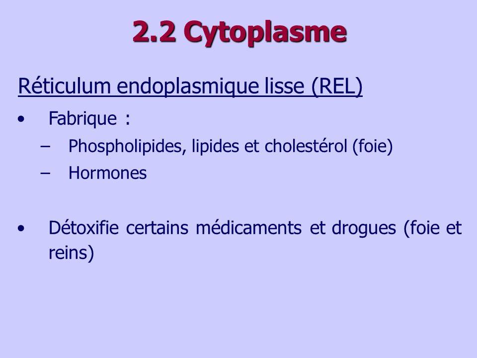 2.2 Cytoplasme Réticulum endoplasmique lisse (REL) Fabrique : –Phospholipides, lipides et cholestérol (foie) –Hormones Détoxifie certains médicaments et drogues (foie et reins)