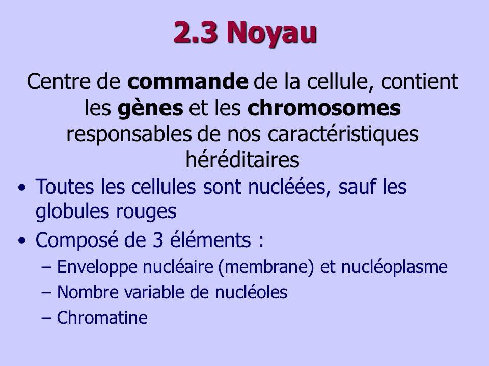 2.3 Noyau Centre de commande de la cellule, contient les gènes et les chromosomes responsables de nos caractéristiques héréditaires Toutes les cellules sont nucléées, sauf les globules rouges Composé de 3 éléments : –Enveloppe nucléaire (membrane) et nucléoplasme –Nombre variable de nucléoles –Chromatine