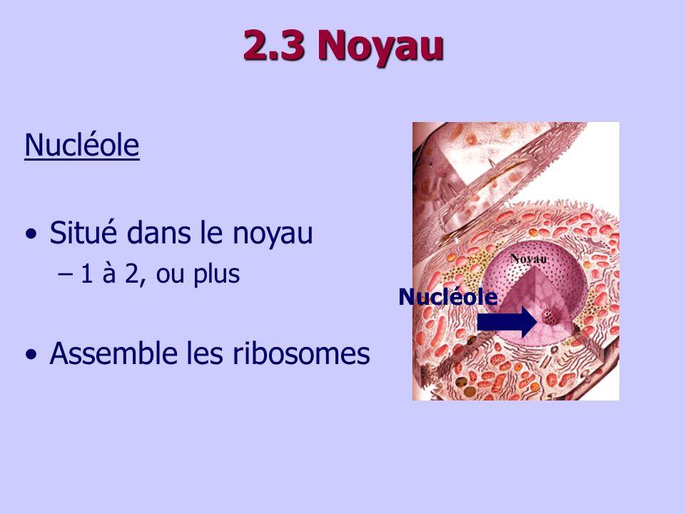 2.3 Noyau Nucléole Situé dans le noyau –1 à 2, ou plus Assemble les ribosomes Nucléole